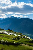 Italy, South Tyrol (Trentino - Alto Adige), Val Venosta, near Tschengl (Italian: Cengles): irrigation during apple blossom | Italien, Suedtirol (Trentino - Alto Adige), Vinschgau, bei Tschengls: Bewaesserung zur Zeit der Apfelbluete