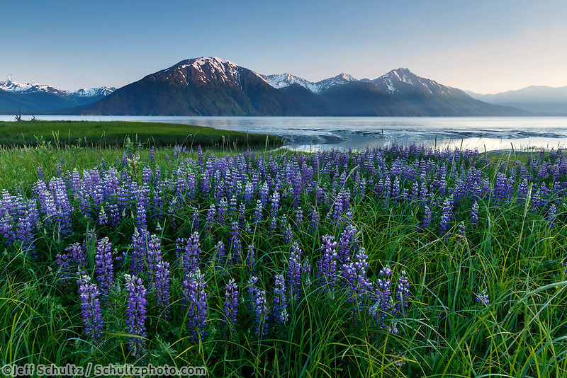 Summer landscape of Lupine flowers along Turnagain Arm with Kenai Mountains in background near Girdwood, Alaska  summer June 2015<br /> <br /> (C) Jeff Schultz/SchultzPhoto.com
