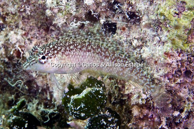 Malacoctenus macropus, Rosy blenny, female, Florida Keys