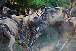 African wild dogs (Lycaon pictus) playing, Moremi Game Reserve, Okavango Delta, Botswana