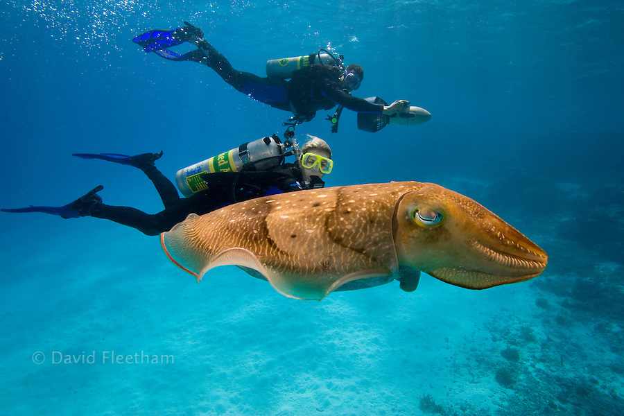 Divers (MR) on underwater scooters and a common cuttlefish, Sepia officinalis, in Palau, Micronesia.