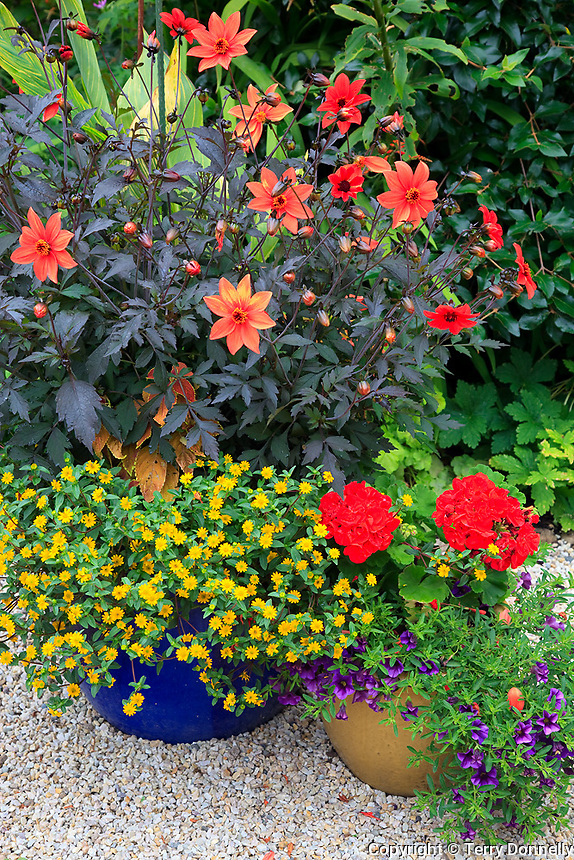 Vashon-Maury Island, WA<br /> Driscoll garden, onrnamental pots planted with colorful flowers