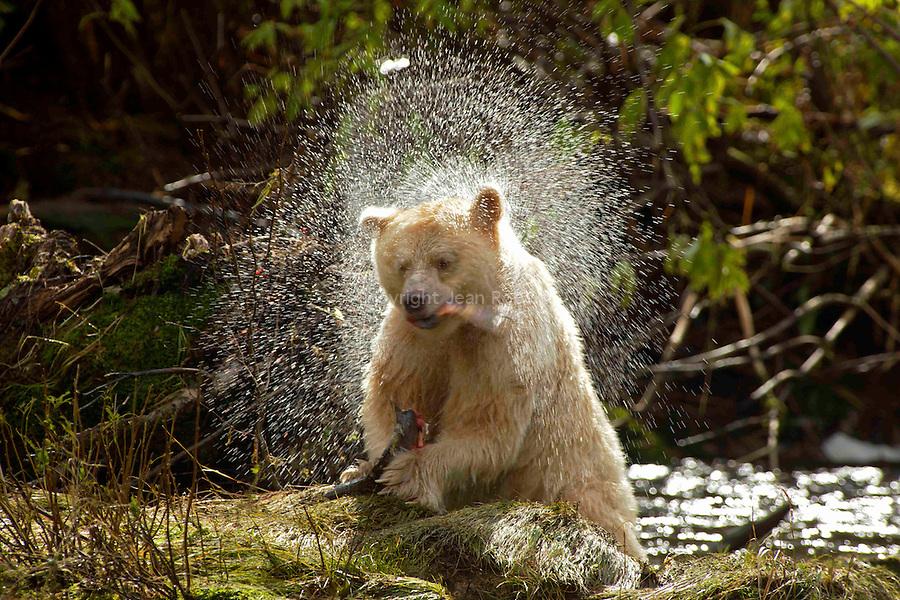 Ours Kermode. Baptis&eacute;e mooksgmol ou ours esprit par les Nord am&eacute;rindiens, cette &eacute;trange cr&eacute;ature est un ours noir blanc. Ile de Gribbel. Ce n est ni un albinos ni un ours polaire,mais une sous espece blanche de l ours noir nord americain  Du fait de son apparence fantomatique, les Amerindiens ne l'ont jamais chasse et ont longtemps cache son existence aux trappeurs qui sillonnaient les forets de la cote. Un secret si  bien garde que son existence na ete confirmee par le monde scientifique quen 1904. Aujourd'hui on estime qu entre 400 &agrave; 1000 ours esprits vivent dans la foret pluviale qui setend entre lAlaska et le nord de l ile de Vancouver. ..<br /> Spirit bear. The Kermode bear (Ursus americanus kermodei also known as a spirit bear for the Native tribes of  Britsh Colomba is a subspecies of the American Black Bear. They are not albinos and not any more related to polar bears. the spirit bear population is estimated at 400-1000 individuals. Gribbel island