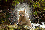 Canada British Columbia Spirit bear