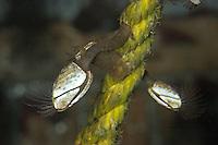 Gewöhnliche Entenmuschel, Glatte Entenmuschel, Enten-Muschel, Lepas anatifera, common goose barnacle, Rankenfußkrebs