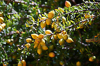 Argan Fruit growing on an Argan nuts in an Argon tree. Near Essouira,, Morocco