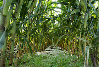 Forage maize crop growing through plastic film, Longtown, Cumbria.