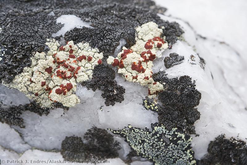 Lichen on rock, Denali National Park, Alaska