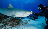 RW2293-D. Tiger Shark (Galeocerdo cuvier), 12 foot long female seeks out gentle touch of experienced dive master. Note special eyelid (called nictitating membrane) over eye which protects eye. Bahamas, Atlantic Ocean.<br /> Photo Copyright &copy; Brandon Cole. All rights reserved worldwide.  www.brandoncole.com