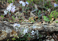 Blue Phlox wildflowers grown near a fallen wood stump in the great smoky mountain national park - Free Stock Photo.