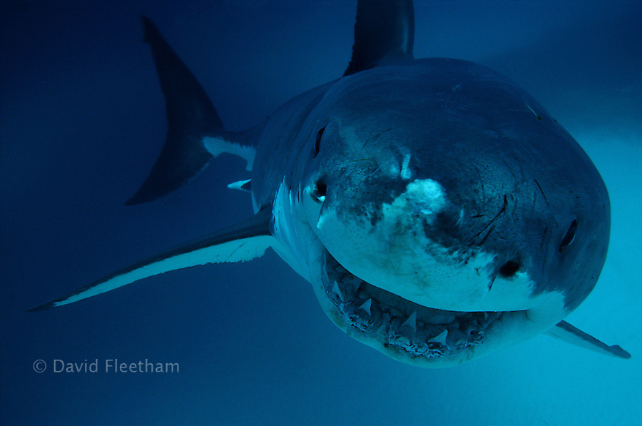 This is closer than you want to get to a Great White Shark, Carcharodon carcharias.  If you're wondering..?yes, Mr. Fleetham was in a cage.  South Australia