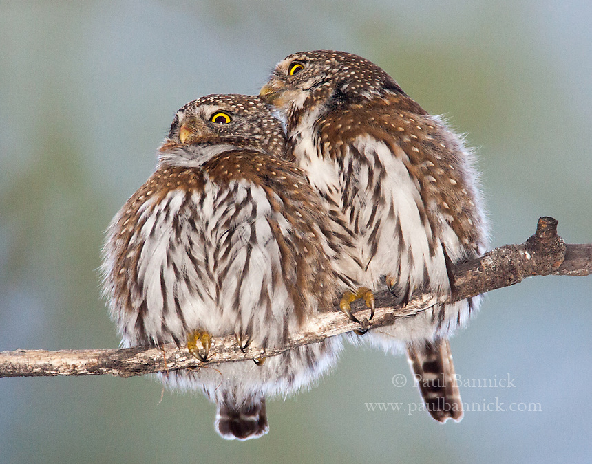 A male Northern Pygmy-Owl preens his mate.