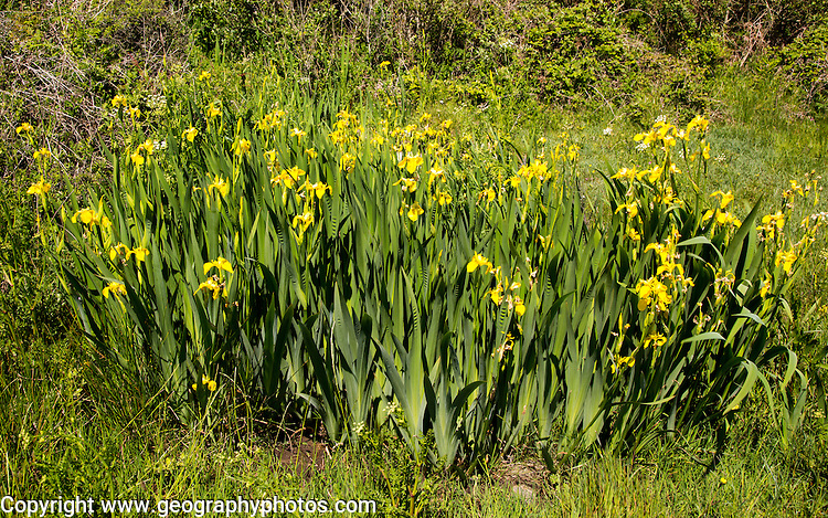 Flag iris plants yellow flowers, Lowland Point, Lizard Peninsula, Cornwall, England, UK