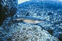 whitetip reef shark, pregnant female, Triaenodon obesus, Cocos Island, Costa Rica, Pacific Ocean