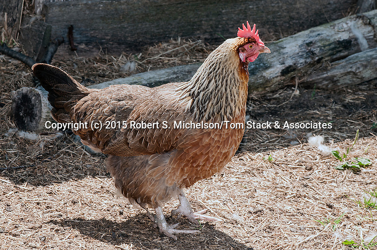 Dorking Chicken full body view facing right.  This heritage breed chicken was first brought over th the new world by 17th Century settlers.