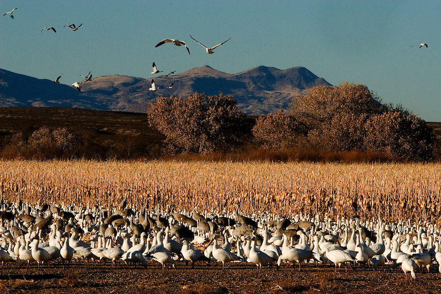 Evening feed. As daylight wanes, the sandhill canes and snow geese manage a few final kernels for the day's feed. Bosque del Apache National Wildlife Refuge in southern Socorro County, New Mexico.