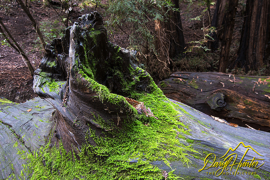 Detail, rainforest forest floor, rotting redwood hosts life in this this moist shady environment.