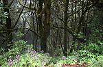 Lichen and moss covered trees in prehistoric forest in the Parque nacional de Garajonay, Unesco world heritage site. La Gomera, Canary Islands.