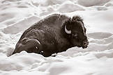 USA, Wyoming, Yellowstone National Park, a bison beds down in the snow to keep warm, Lamar Valley