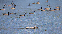 A coyote swims past a flock of Canada geese as it crosses the Yellowstone River.