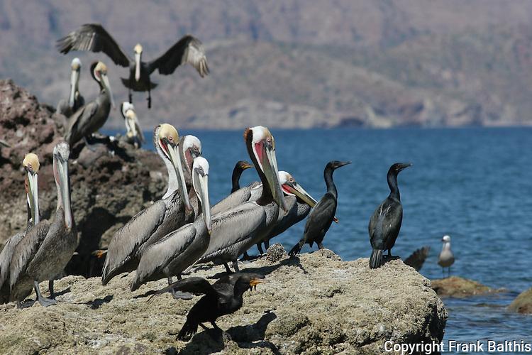 brown pelicans, cormorants, Agua Verde, Gulf of CA