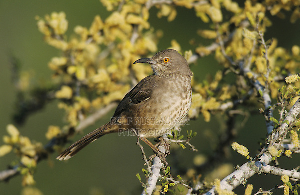 Curve-billed Thrasher, Toxostoma curvirostre, adult on blooming Blackbrush, Starr County, Rio Grande Valley, Texas, USA, April 2002