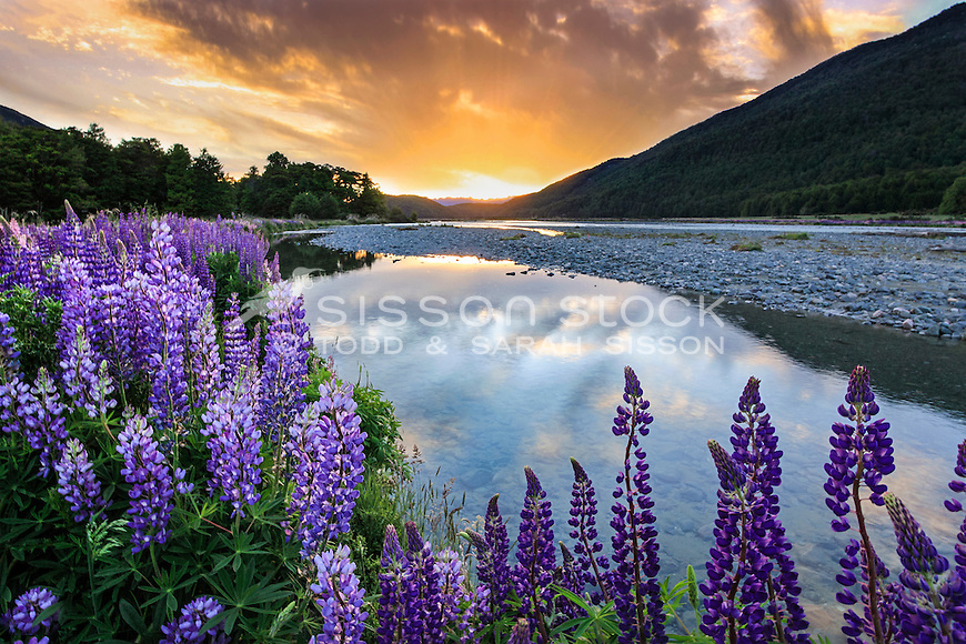 Large field of purple lupins beside Hollyford River, Fiordland New Zealand on the Milford Sound Road. Sunset