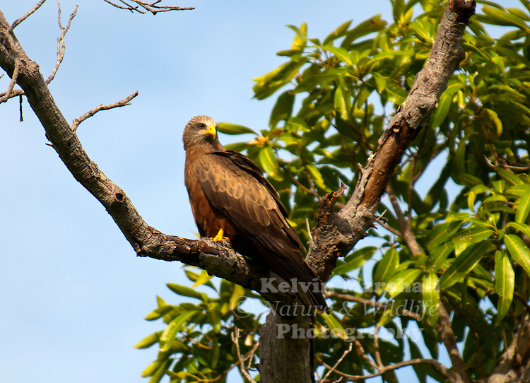 Yellow-billed Kite (Milvus aegyptius) is the Afrotropic counterpart of the Black Kite (Milvus migrans), of which it is most often considered a subspecies. However, recent DNA studies suggest that the Yellow-billed Kite differs significantly from Black Kites in the Eurasian clade, and should be considered as a separate, allopatric species.