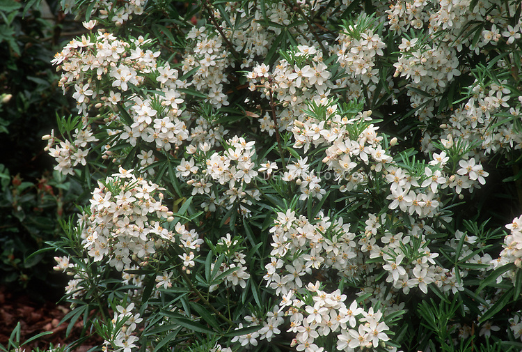 Choisya 39 aztec pearl 39 plant flower stock photography for White flowering bush