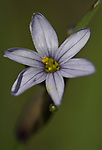 Prairie Blue-eyed grass growing on the prairie at Prairie State Park (MO)