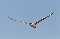 Caspian tern (Hydroprogne caspia) in flight over lake Xau