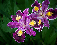 Pacific Coast Iris  (Iris innominata)