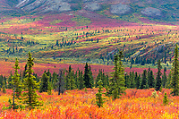 Autumn tundra and taiga, spruce trees and dwarf birch, Denali National Park, Alaska.