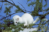 MA05-008x Short-Tailed Weasel - climbing tree, chasing squirrel in winter - Mustela erminea