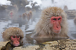Jigokudani National Monkey Park, Nagano, Japan<br /> Japanese Snow Monkeys (Macaca fuscata) in hot spring waters of Jigokudani monkey park in the Yokoyu River valley