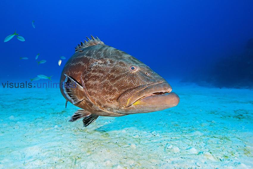 Black Grouper (Mycteroperca bonaci), Grand Bahamas, Atlantic Ocean.