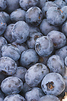 Blueberries 'Collins'  Vaccinium corymbosum  picked