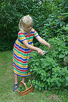 Kind, Mädchen erntet Kräuter, Zitronen-Melisse, Zitronenmelisse, Melisse, Melissa officinalis, Bee Balm, Lemon Balm, Citronnelle, Mélisse, Ernte