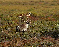 Bull Caribou.