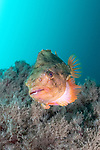 Lumpfish on the Arnarnesstrýtur chimney, northern Iceland
