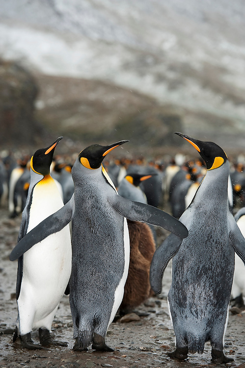 Interacting penguins amongst a large King Penguin colony (Aptenodytes patagonicus) , Fortuna Bay, South Georgia