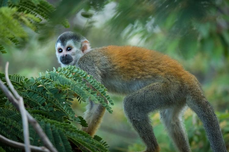 Squirrel Monkey-Manuel Antonio