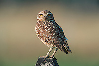 Burrowing Owl (Athene cunicularia), adult on post, Pantanal, Brazil, South America