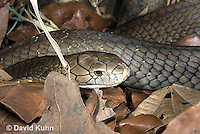 0503-1101  King Cobra (India, Largest Venomous Snake in the World), Ophiophagus hannah  © David Kuhn/Dwight Kuhn Photography