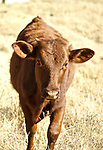 Red heifer in Oklahoma.