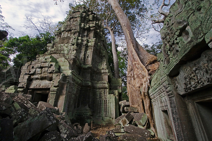 A silk cotton or kapok tree (Ceiba Pentandra) grows over the stone temples of Ta Prohm, built by Jayavarman VII at Angkor Wat - Siem Reap, Cambodia...
