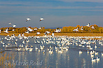 Snow Geese (Chen caerulescens) take flight from a pool, Bosque Del Apache National Wildlife Refuge, New Mexico, USA