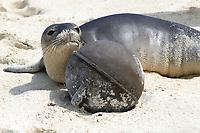 Hawaiian monk seal pup, ilioholokauaua, Neomonachus schauinslandi, Lisianski, Papahanaumokuakea Marine National Monument, Northwestern Hawaiian Islands, Hawaii, USA, Pacific Ocean