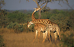 Giraffes, Giraffa camelopardalis, necking (fighting), Kruger National Park, South Africa