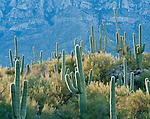 Morning light on the saquaro cactus in Honeybee city park in Arizona